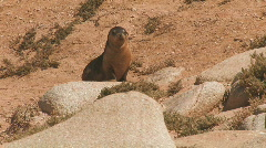 Sea Lion Pup Crying Stock Footage