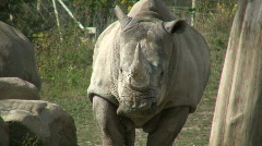Rhinoceros is hanging out in the sunshine Stock Footage