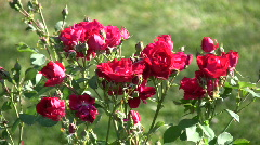 Beautiful red roses gently sway in the wind (High Definition) Stock Footage