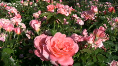 Rosa Atlantic Star roses gently sway in wind (High Definition) Stock Footage