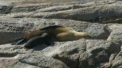 Sea lion Pup Suckling Stock Footage