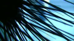Closeup of Sea Urchin's spikes silhouetted against the blue water Stock Footage
