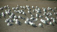 Many seagulls are grooming themselves on sunny beach (High Definition) Stock Footage