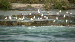 Many seagulls are grooming themselves by the river (High Definition) Stock Footage