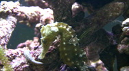 Close-up of a Caribbean Seahorses relaxing in the water Stock Footage