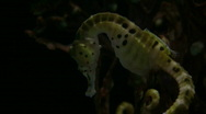 Stock Video Footage of Potbelly Seahorse is hanging out in the dark water