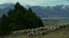 Sheep Mob Retreats Stock Footage