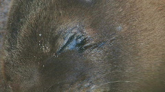 Sea Lion Pup Eye Close Stock Footage