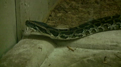 Burmese Python is looking for as exit (High Definition) Stock Footage