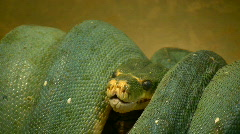 Closeup of a coiled up snake Stock Footage