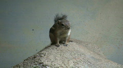 Antelope Ground Squirrel is resting on a rock Stock Footage