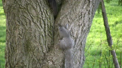Two squirrels playfully chase each other around an old tree Stock Footage