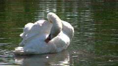 White swan grooms itself on bright sunny day (High Definition) Stock Footage