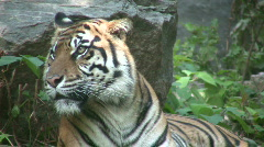 Beautiful African tiger is relaxing on sunny day (High Definition) - stock footage