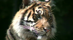 Closeup of a Sumatran Tiger on a sunny day Stock Footage