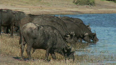 African Cape Buffalo's drinking Stock Footage
