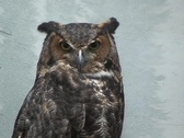 Great Horned Owl 3  Stock Footage