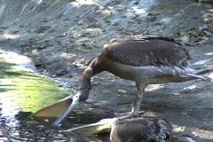 Pelican 8  Stock Footage