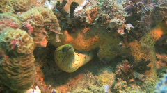 Fimbriated moray, Gymnothorax fimbriatus on a coral reef in the Philippines Stock Footage