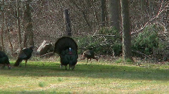 Tom turkey and his mates Stock Footage