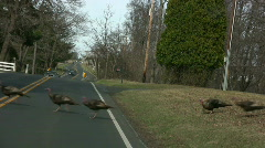 Wild turkeys cross the road Stock Footage