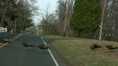 wild turkeys cross the road - stock footage