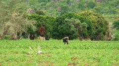 Malawi: african farmer working in a field Stock Footage