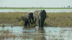 Elephants drinking Stock Footage
