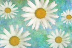 Spring Daisy Blooms Stock Footage