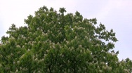 Chestnut blossoms Stock Footage