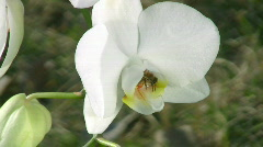 Honey bee gathering pollen from a white orchid Stock Footage