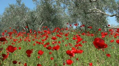 Wild Poppy and olive trees in strong wind Stock Footage