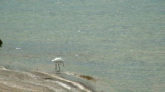 Malawi: egret fishing at lake shore 2 Stock Footage