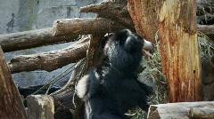 Sloth Bear (on hind legs) Stock Footage