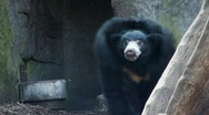 Sloth Bear Stock Footage