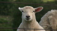 Baby lamb with attitude Stock Footage
