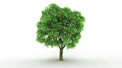 Loopable spinning elm tree - stock footage