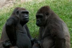 Two Gorillas kissing  Stock Footage