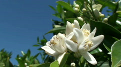 orange tree blossoms - stock footage