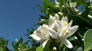 Stock Video Footage of orange tree blossoms
