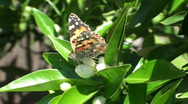 Orange blossom, butterfly Stock Footage
