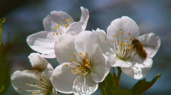 White cherry blossoms and bugs (closeup) Stock Footage
