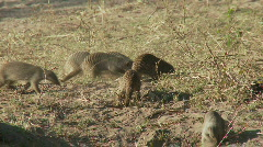 Mongooses foraging Stock Footage