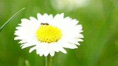 Daisy with ant macro Stock Footage