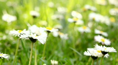 Daisies wide high key Stock Footage