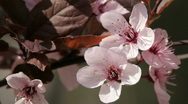 Blossom Stock Footage