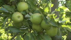 Closeup picking  Granny Smith apples Stock Footage