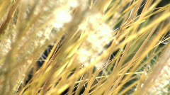Summer grass blows in the wind V3 - HD  Stock Footage