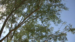 Tree gently sways in wind on sunny day (High Definition) Stock Footage