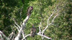Turkey vultures hang around a tree, cooling off (High Definition) Stock Footage